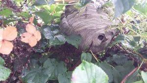 wespennest in struik tuin rosmalen